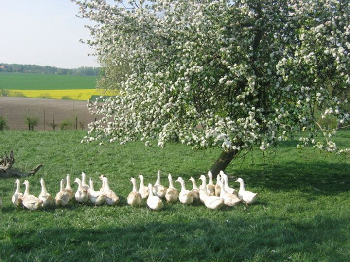 Canards en pature
